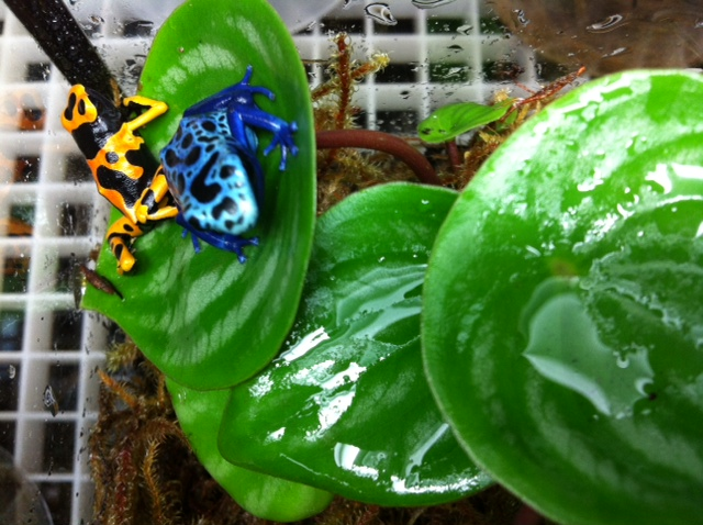 Poison Dart Frogs!!