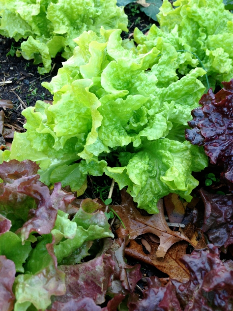 Lettuce.
